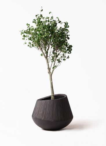 観葉植物 フィカス ベンジャミン 8号 シタシオン エディラウンド 黒 付き
