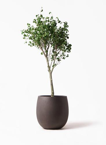 観葉植物 フィカス ベンジャミン 8号 シタシオン テラニアス バルーン アンティークブラウン 付き