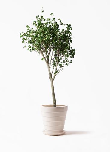 観葉植物 フィカス ベンジャミン 8号 シタシオン サバトリア 白 付き
