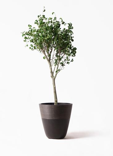 観葉植物 フィカス ベンジャミン 8号 シタシオン ジュピター 黒 付き
