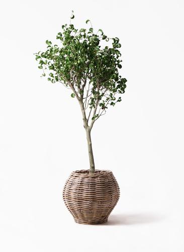 観葉植物 フィカス ベンジャミン 8号 シタシオン グレイラタン 付き
