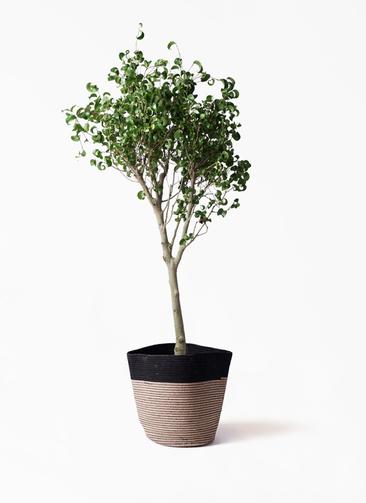 観葉植物 フィカス ベンジャミン 8号 シタシオン リブバスケットNatural and Black 付き