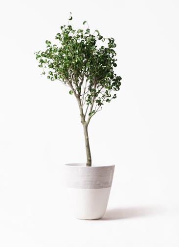 観葉植物 フィカス ベンジャミン 8号 シタシオン ジュピター 白 付き