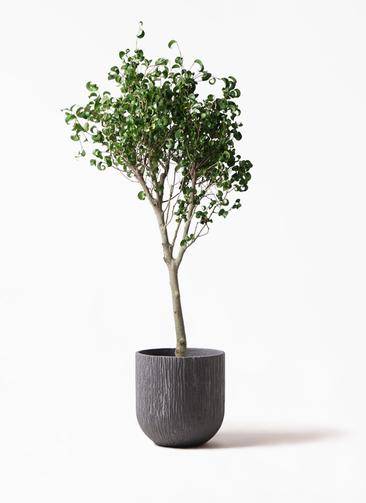 観葉植物 フィカス ベンジャミン 8号 シタシオン カルディナダークグレイ 付き