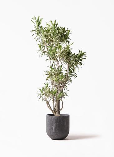 観葉植物 ドラセナ ソング オブ インディア 8号 カルディナダークグレイ 付き