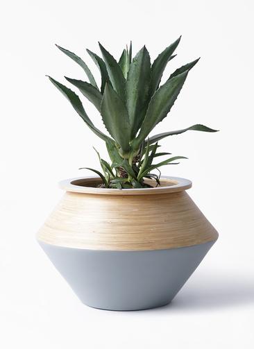 観葉植物 アガベ 8号 アメリカーナ アルマジャー グレー