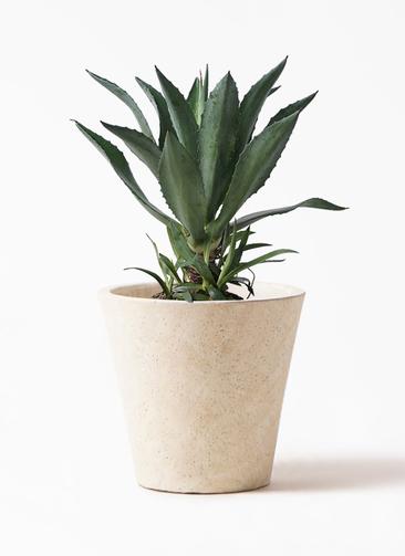 観葉植物 アオノリュウゼツラン 8号 フォリオソリッド クリーム 付き