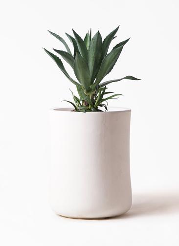 観葉植物 アガベ 8号 アメリカーナ バスク ミドル ホワイト 付き