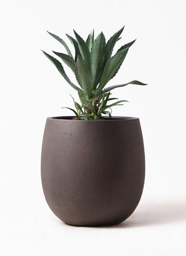 観葉植物 アガベ 8号 アメリカーナ テラニアス バルーン アンティークブラウン 付き