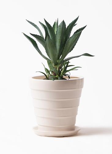 観葉植物 アガベ 8号 アメリカーナ サバトリア 白 付き