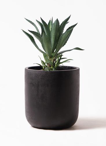 観葉植物 アガベ 8号 アメリカーナ エルバ 黒 付き