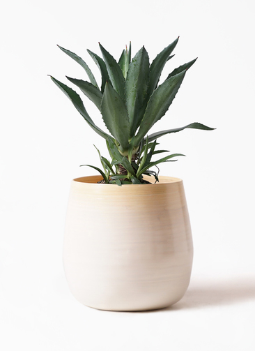 観葉植物 アオノリュウゼツラン 8号 ササール 白 付き