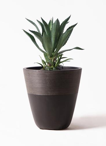 観葉植物 アガベ 8号 アメリカーナ ジュピター 黒 付き