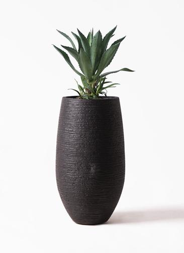 観葉植物 アガベ 8号 アメリカーナ フォンティーヌトール 黒 付き