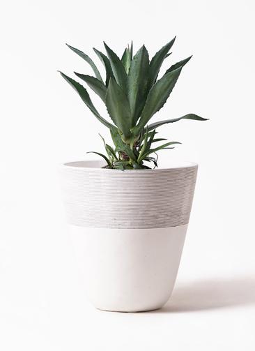観葉植物 アガベ 8号 アメリカーナ ジュピター 白 付き