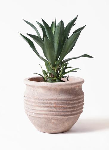 観葉植物 アオノリュウゼツラン 8号 テラアストラ リゲル 赤茶色 付き