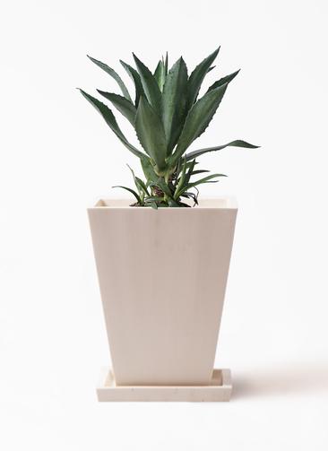 観葉植物 アオノリュウゼツラン 8号 パウダーストーン 白 付き