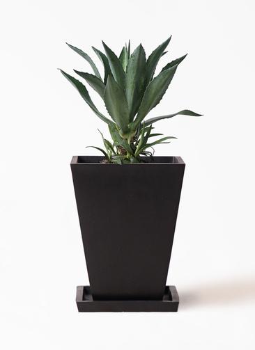 観葉植物 アオノリュウゼツラン 8号 パウダーストーン 黒 付き