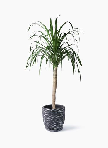 観葉植物 ドラセナ ドラコ 8号 ハイブミドル ブラック 付き