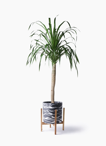 観葉植物 ドラセナ ドラコ 8号 ホルスト シリンダー マーブル ウッドポットスタンド付き