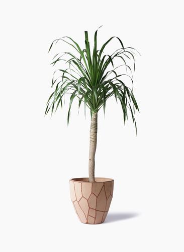 観葉植物 ドラセナ ドラコ 8号 ウィスク 付き