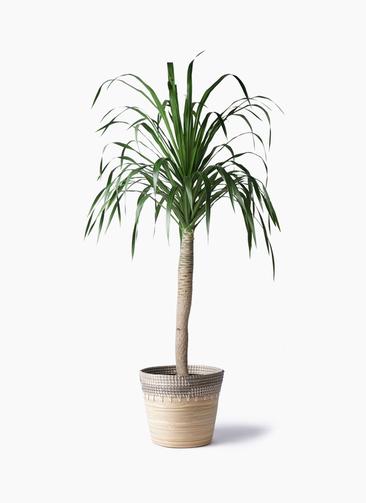 観葉植物 ドラセナ ドラコ 8号 アルマ コニック 白 付き
