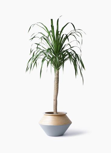 観葉植物 ドラセナ ドラコ 8号 アルマジャー グレー