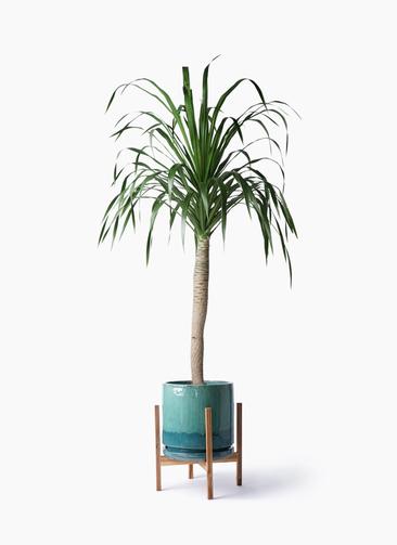 観葉植物 ドラセナ ドラコ 8号 ビトロ エンデガ ターコイズ ウッドポットスタンド付き