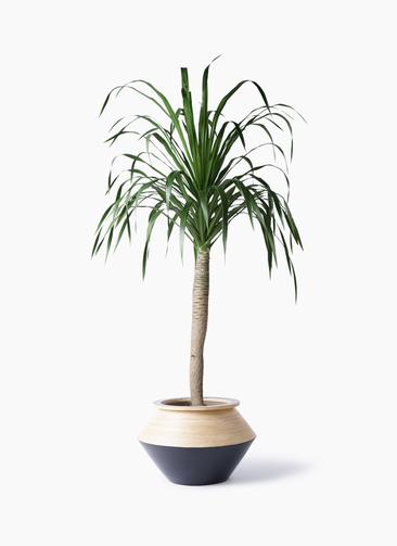 観葉植物 ドラセナ ドラコ 8号 アルマジャー 黒