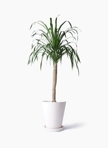 観葉植物 ドラセナ ドラコ 8号 パウダーストーン white 付き
