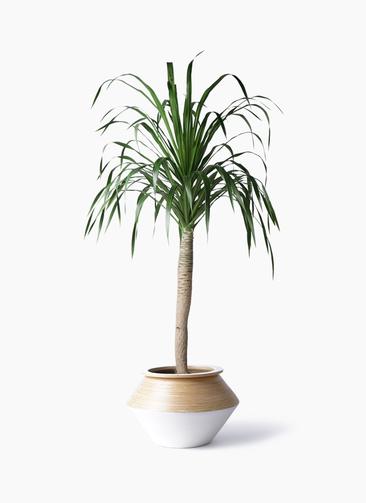 観葉植物 ドラセナ ドラコ 8号 アルマジャー 白