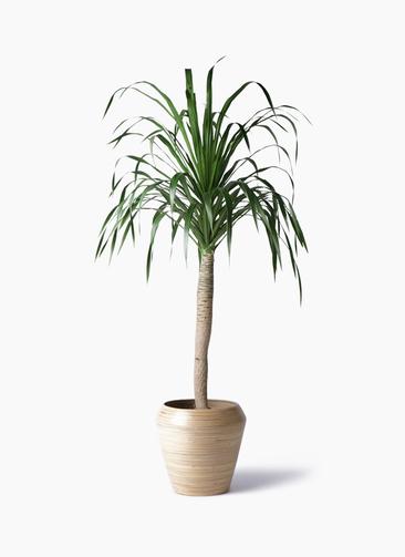 観葉植物 ドラセナ ドラコ 8号 アルマ ミドル 付き
