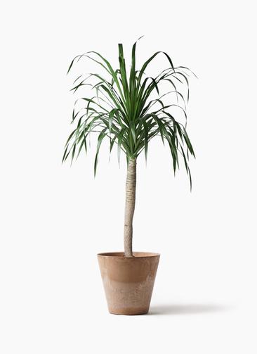 観葉植物 ドラセナ ドラコ 8号 アートストーン ラウンド ベージュ 付き