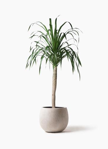 観葉植物 ドラセナ ドラコ 8号 テラニアス ローバルーン アンティークホワイト 付き