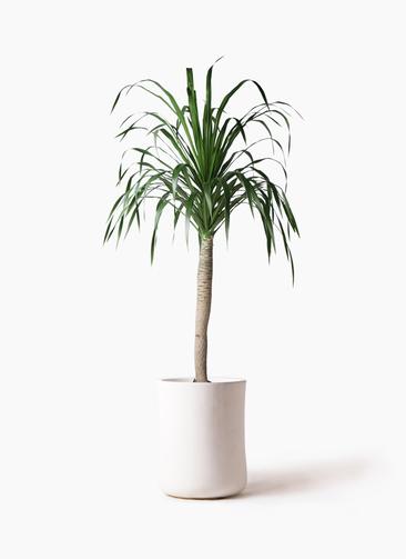 観葉植物 ドラセナ ドラコ 8号 バスク ミドル ホワイト 付き