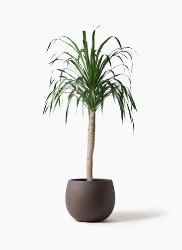 観葉植物 ドラセナ ドラコ 8号 テラニアス ローバルーン アンティークブラウン 付き