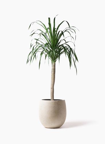 観葉植物 ドラセナ ドラコ 8号 テラニアス バルーン アンティークホワイト 付き