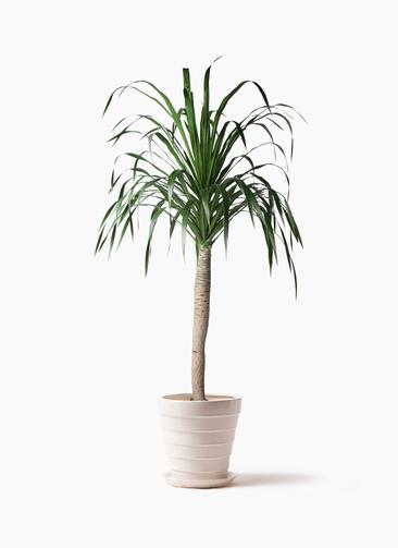 観葉植物 ドラセナ ドラコ 8号 サバトリア 白 付き