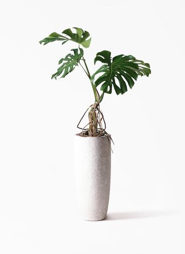 観葉植物 モンステラ 8号 根上り エコストーントールタイプ white 付き