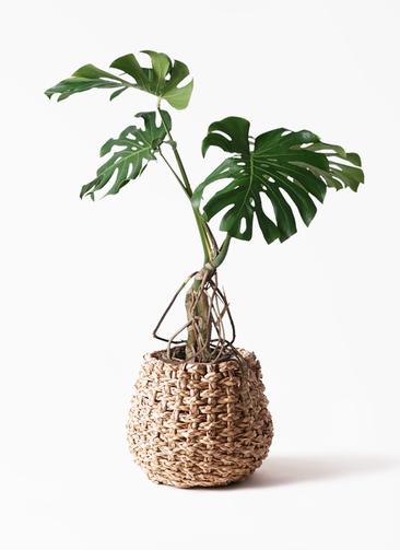観葉植物 モンステラ 8号 根上り ラッシュバスケット Natural 付き