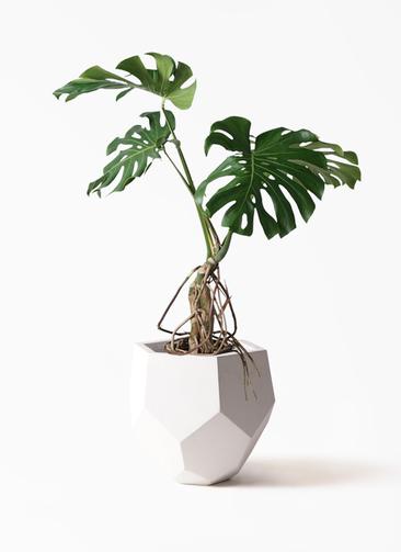 観葉植物 モンステラ 8号 根上り ポリゴヘクサ 白 付き