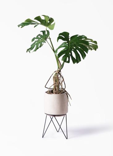 観葉植物 モンステラ 8号 根上り ビトロ エンデカ クリーム アイアンポットスタンド 付き