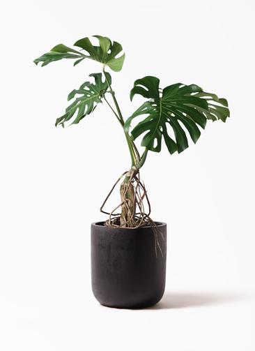 観葉植物 モンステラ 8号 根上り エルバ 黒 付き