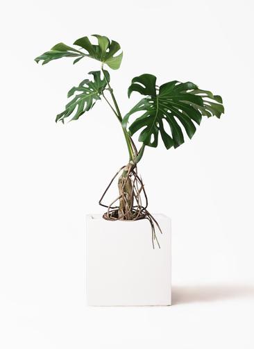 観葉植物 モンステラ 8号 根上り バスク キューブ 付き