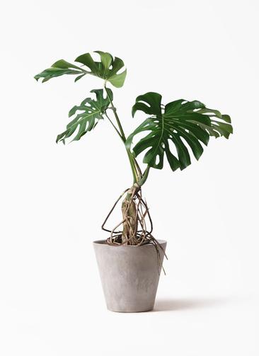 観葉植物 モンステラ 8号 根上り アートストーン ラウンド グレー 付き