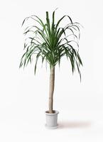 観葉植物 ドラセナ ドラコ 8号 プラスチック鉢