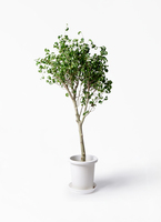 観葉植物 フィカス ベンジャミン 8号 シタシオン プラスチック鉢