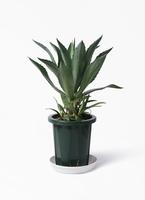 観葉植物 アオノリュウゼツラン 8号 プラスチック鉢