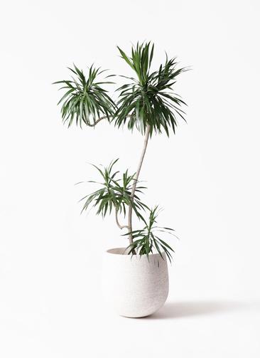 観葉植物 ドラセナ ナビー 8号 L字 エコストーンwhite 付き