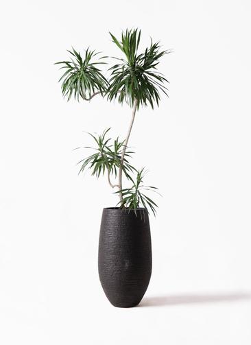 観葉植物 ドラセナ ナビー 8号 L字 フォンティーヌトール 黒 付き